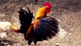 댄디 한국사…'닭대가리'가 아닌 상서로운 새, 닭
